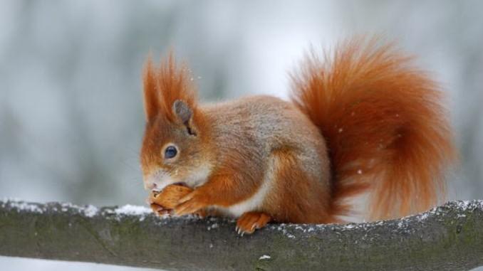 Echhörnchen im Winter