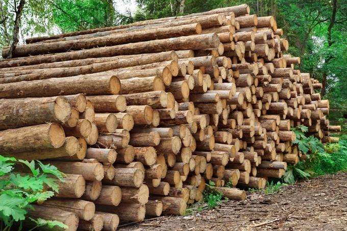Fichtenholz - Stämme der Fichte