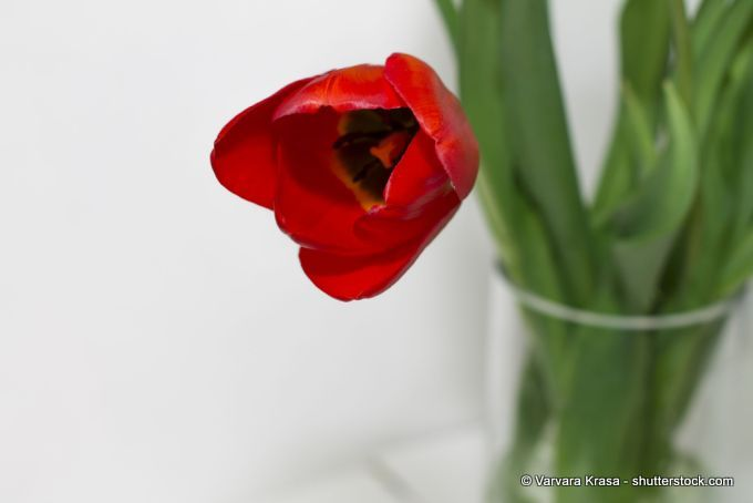 Tulpe in einer Vase