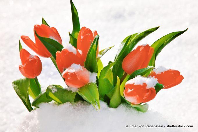 Tulpe: Frühlingsbote im Schnee