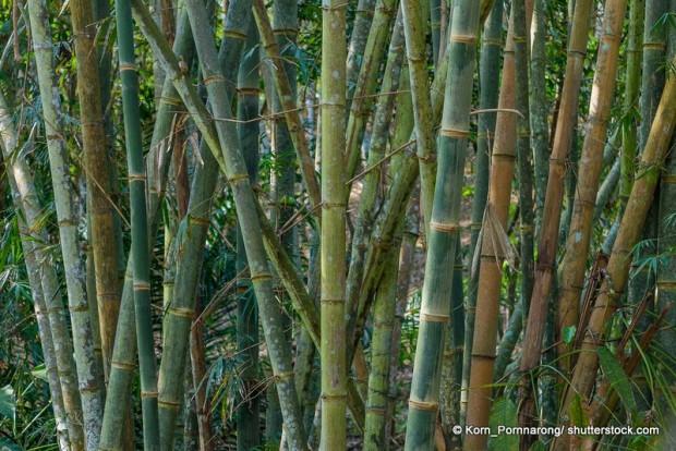 Bambus neigt zu besonders starker Rhizombildung