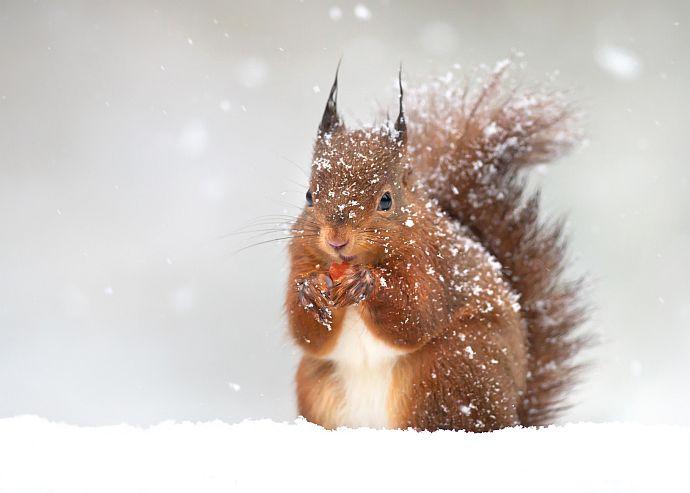 Eichhörnchen im Winter © giedriius