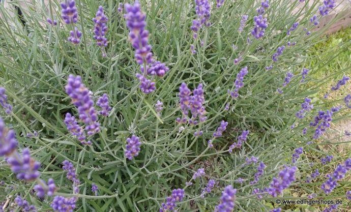 Lavendel hebt die Stimmung, wirkt beruhigend und löst Spannungskopfschmerzen