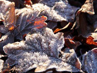 Frost auf Eichenblatt