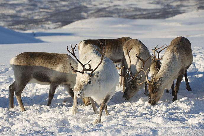 Rentiere auf Futtersuche im Schnee in Norwegen