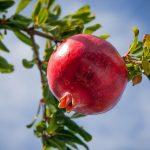 Granatapfel | Bild: nile