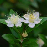 Myrte | Bild: fleuryste