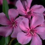 Oleander | Bild: domeckopol