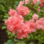 Pinkfarbene Azalee / Rhododendron | Bild: Olesia Sarycheva fotolia.com