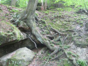Nadelbaum in der Sächsischen Schweiz - stützt sich auf seinen Wurzeln ab