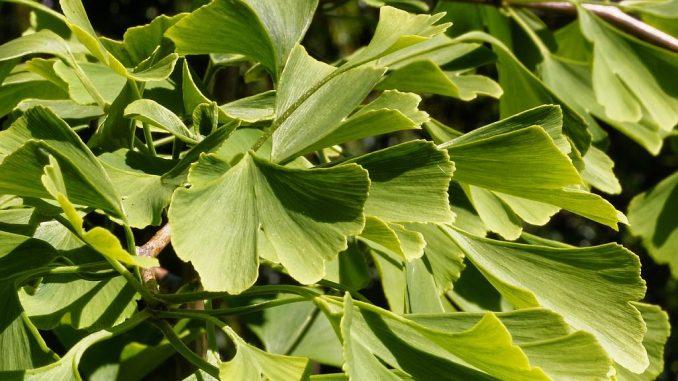 Blätter an einem Gingko