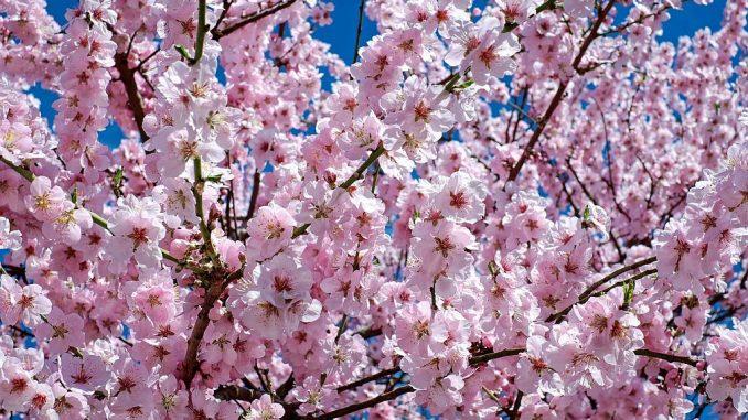 Japanische-Blütenkirsche