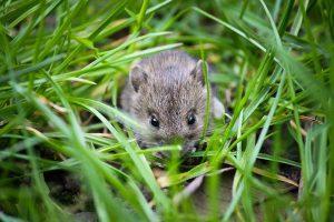 Maus im Garten/Gras