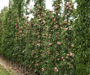 Säulenobst Äpfel