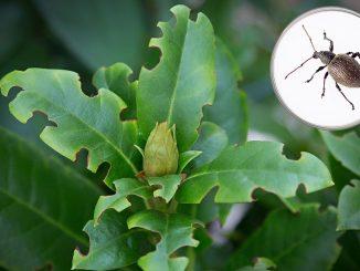 Fraßspuren vom Dickmaulrüssler am Rhododendron