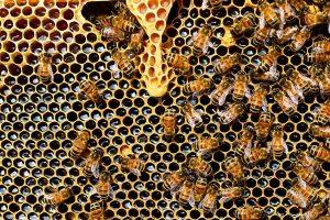 Honigbiene | Bild: PollyDot