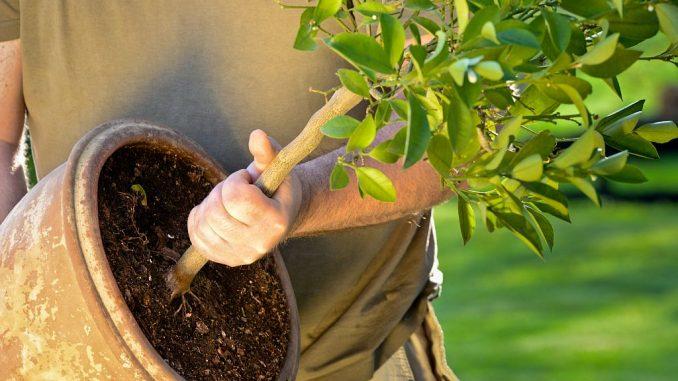 Zitrus-Baum als Kübelpflanze im Topf