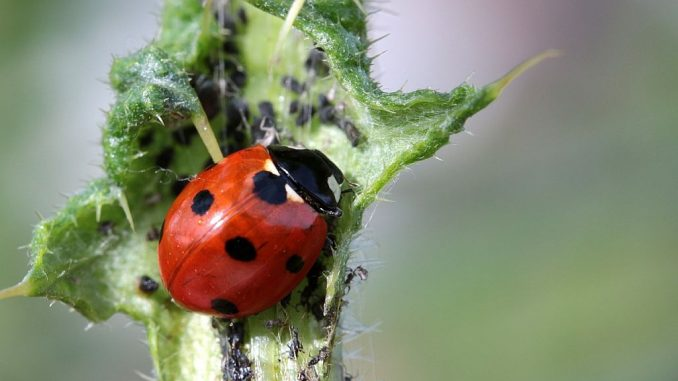 Nützling: Marienkäfer frisst Blattläuse