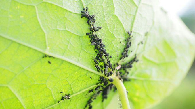 Schädling: Blattläuse