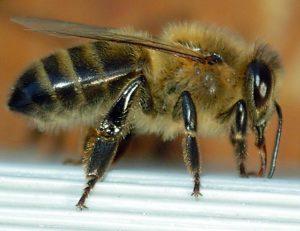 Dunkle Europäische Biene (Apis mellifera mellifera) | Bild: Emmanuel Boutet (GFDL und Creative Commons CC-BY-SA-2.5)