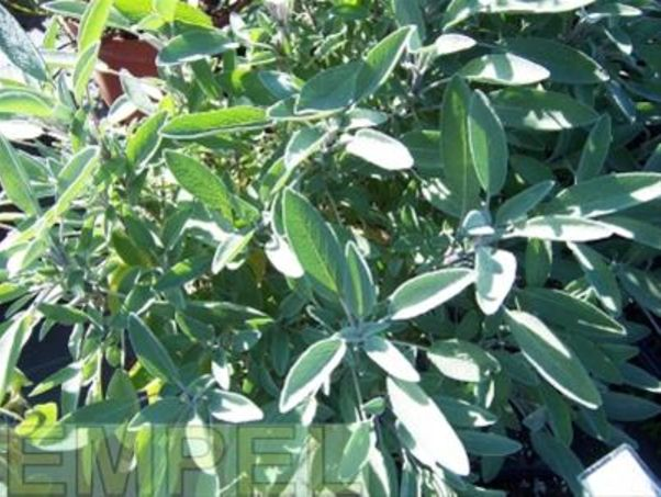 Grüner Salbei | Bild: Empel