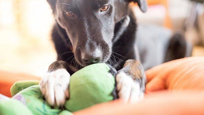 Hund spielt mit Stofftier | Bild: Patrick Daxenbichler fotolia.com