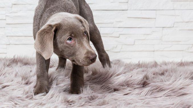 Ängstlicher Labrador-Welpe | Bild: bmf-foto.de