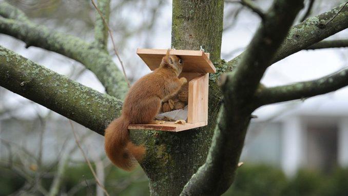 Eichhörnchen an Futterstation | Bild: Oskar adobe.stock.com