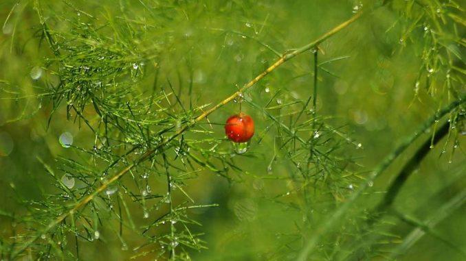 Spargel mit Blättern und Früchten | Bild: ihtar