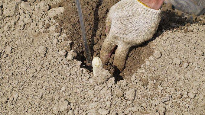 Spargelstechen wird nach wie vor von Hand durchgeführt | Bild: Lucky Dragon stock.adobe.com