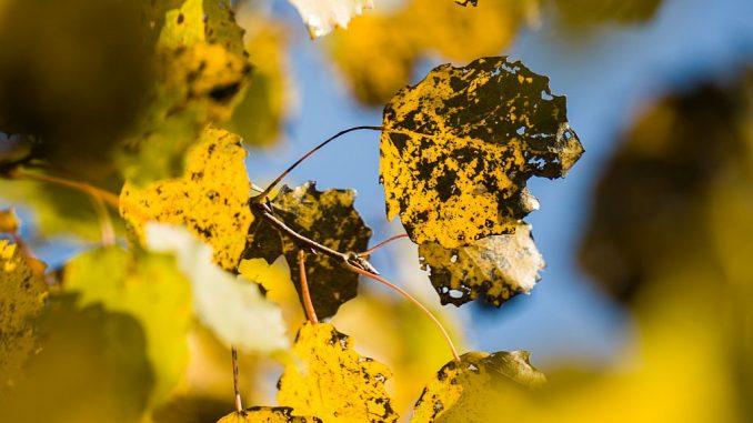 Espe: Blätter mit Nekrose | Bild: David stock.adobe.com