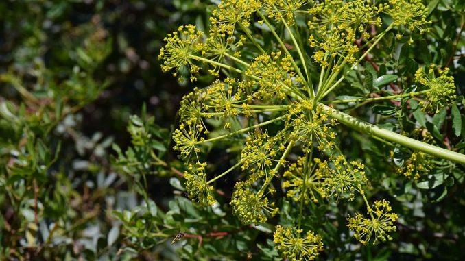 Mittelzehrer: Fenchel, mit Blüten | Bild: ulleo