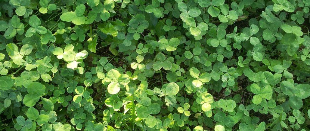 Zeigerpflanze für Stickstoffarmut im Boden: Klee | Bild: frogfra