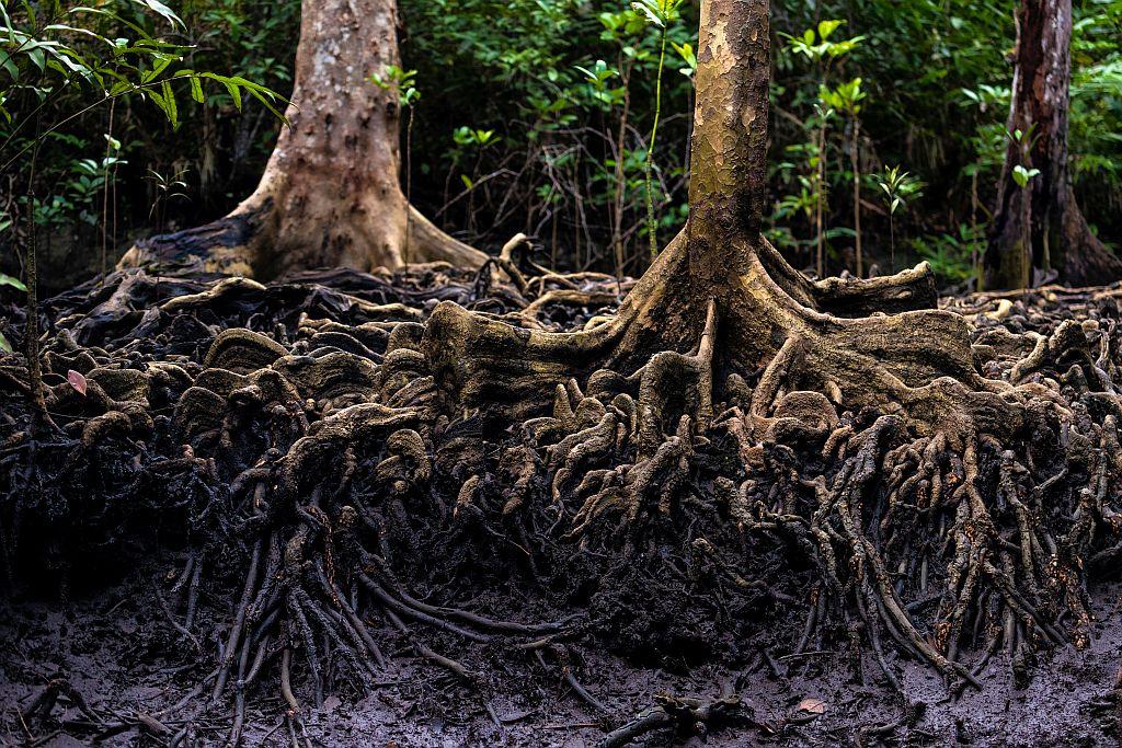 Mangroven mit bloßen Wurzeln | Bild: Stéphane Bidouze stock.adobe.com